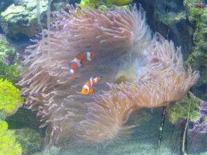 Clownfiskarna i sin anemon