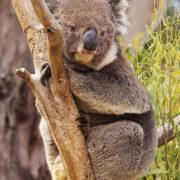 Random image: koala